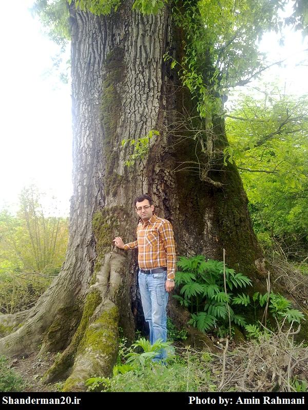 درختی کهنسال در روستای سیاهمرد شاندرمن