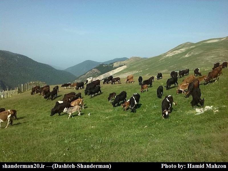 ورود اولین گله گاوها بعد از شکستن قروق به ییلاق دشته