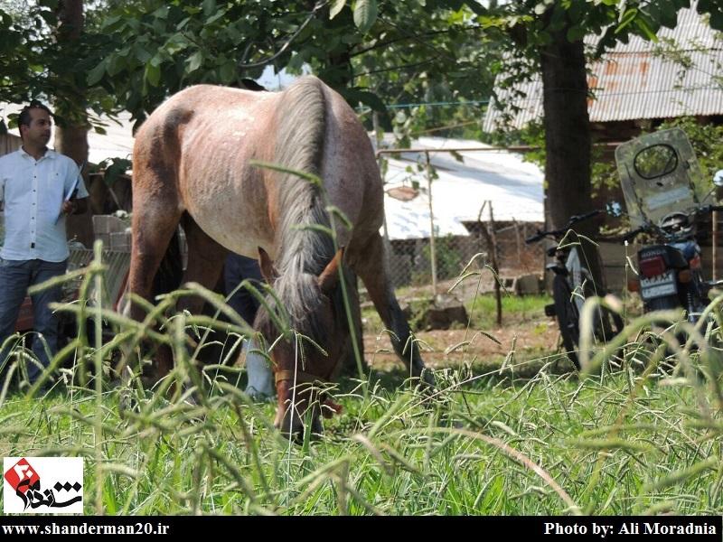 جشنواره زیبایی اسب کاسپین- تست مشمه (۴)