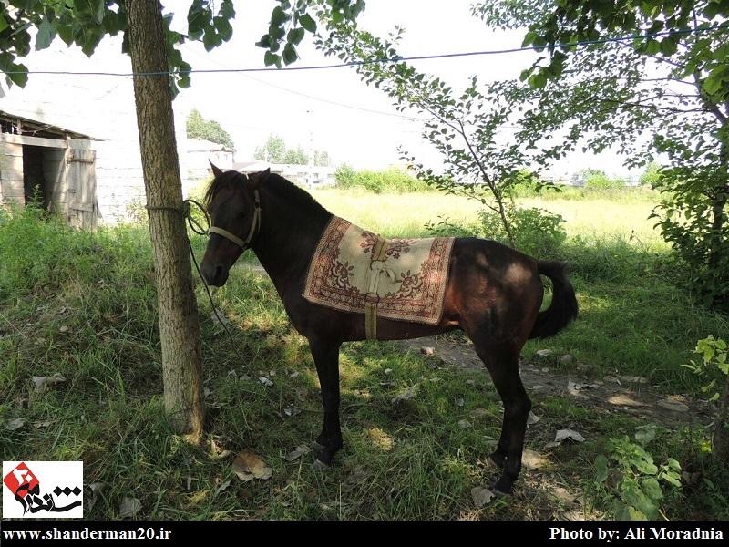 جشنواره زیبایی اسب کاسپین- تست مشمه (۵)