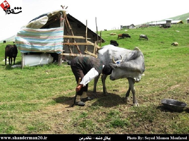 تالش ها به گاو ننه می گویند عکس در ییلاق دشته شاندرمن سید مومن منفرد