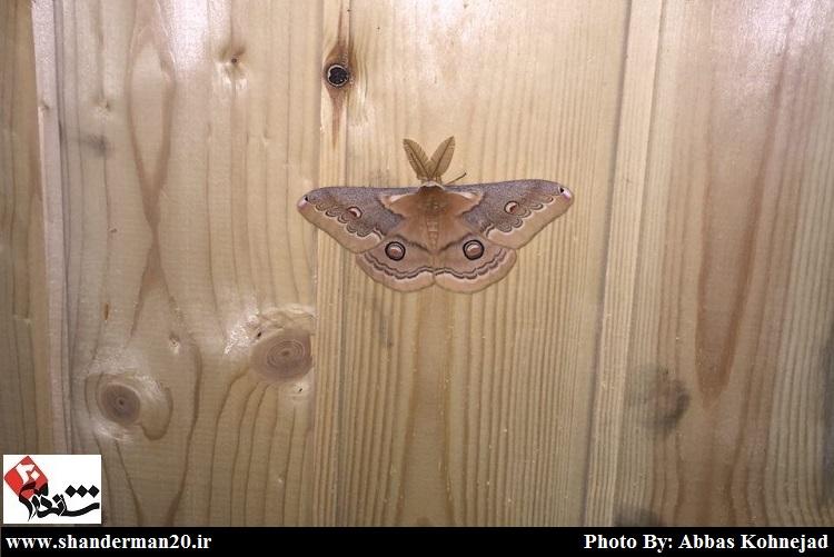 پروانه ای زیبا در حاجی بیجار شاندرمن-شاندرمن۲۰ (۱)