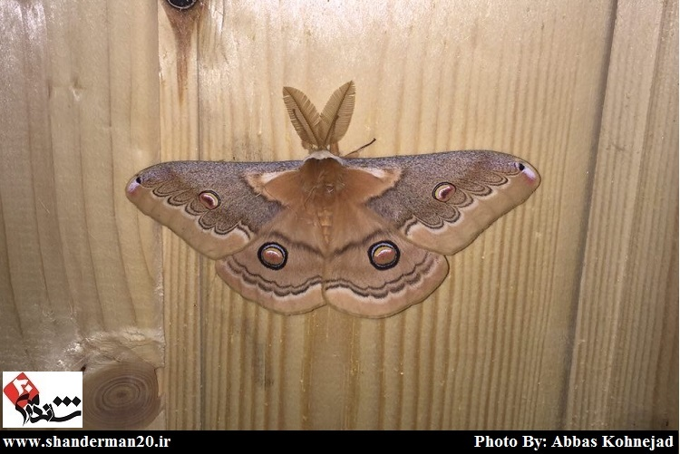 پروانه ای زیبا در حاجی بیجار شاندرمن-شاندرمن۲۰ (۲)