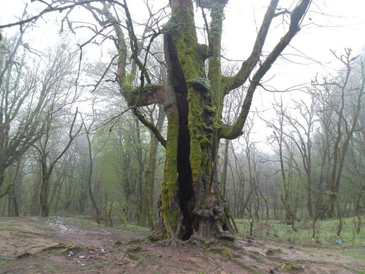 روزهای تلخ درخت هزارساله کنگول باسکم شفت
