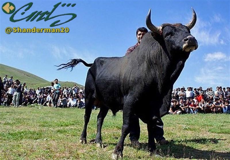 نخستین جشنواره گاو بومی در استان گیلان برگزار میشود