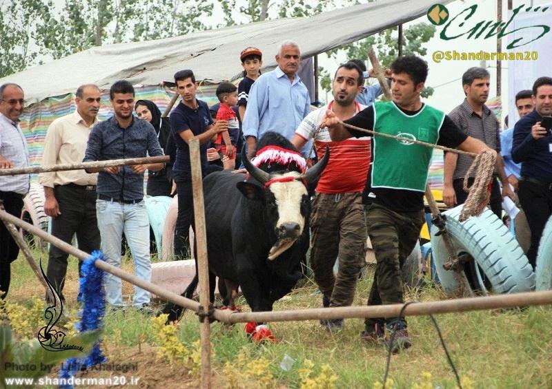 نخستین جشنواره گاو بومی گیلان در پونل رضوانشهر برگزار گردید